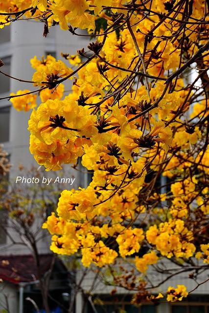 黃風鈴木38