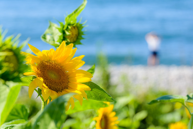 向日葵-鳴り石の浜-43