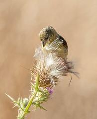 Lesser Goldfinch (Spinus psaltria)