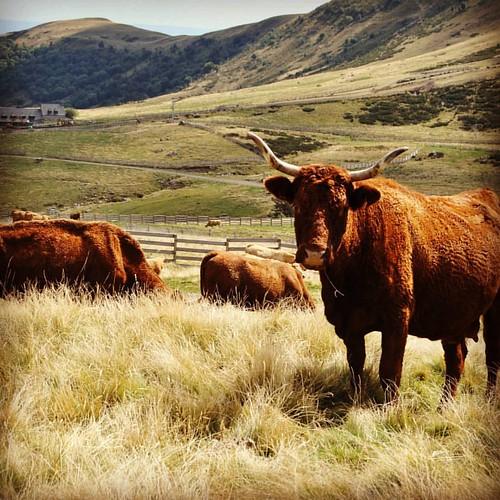 De 'koe' die mij gisteren wilde aanvallen. Gelukkig was mijn gegil genoeg om haar daar vanaf te brengen... 😨 #salers #hiking #auvergne #latergram