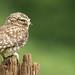 Steenuil / Little Owl / Chevêche d'Athéna by Gladys Klip