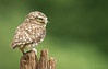 Steenuil / Little Owl / Chevêche d'Athéna