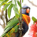 Colours of the Rainbow Lorikeet by Merrillie