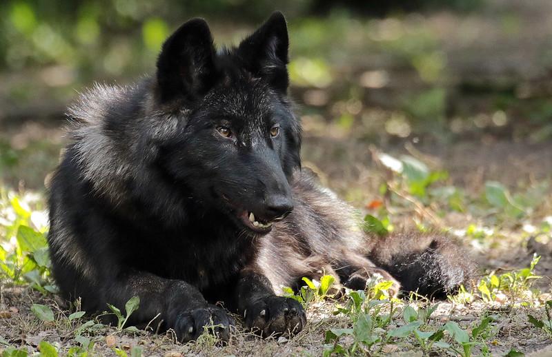timberwolf Gelschenkirchen JN6A3542