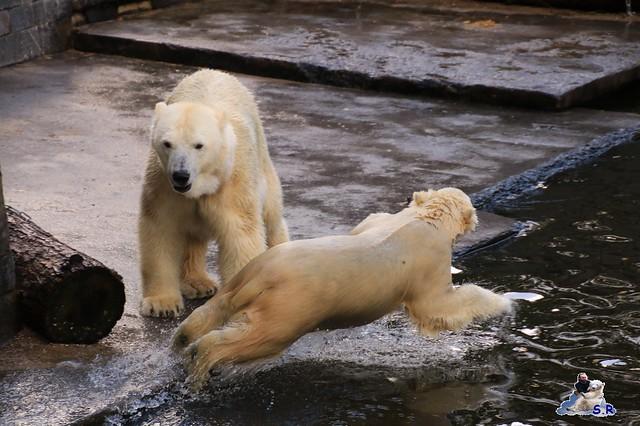 Eisbär Fiete im Zoo Rostock 26.09.2015   081