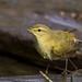 Felosa-comum, Chiffchaff (Phylloscopus collybita) - em Liberdade  [WildLife] by xanirish