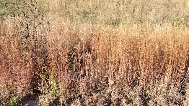 Nebraska grasses