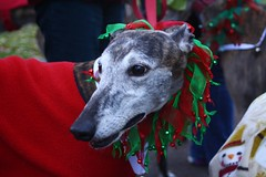 Greyhound Adventures and friends at the 11th annual Jingle Bell Walk, Public Garden & Common, Boston MA, Dec 6th 2015