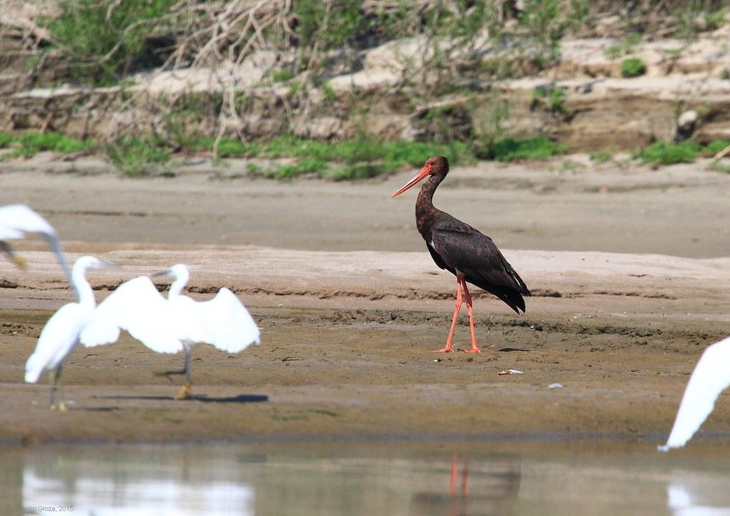 15_Blask stork