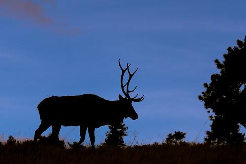 sunset nature silhouette landscape us nationalpark colorado unitedstates wildlife bull rmnp elk buck estespark rockymountainnationalpark 70d eos70d ef100400lii