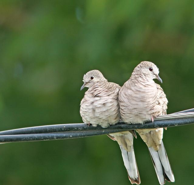 Inca Dove _5054