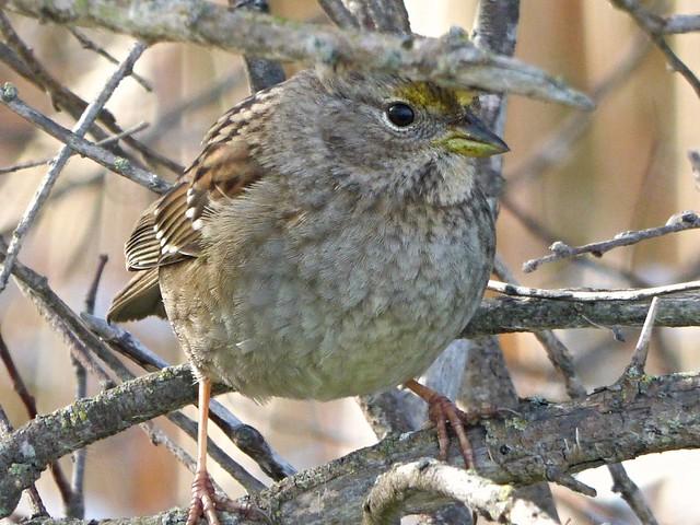 Golden-crowned Sparrow Explored 01, Panasonic DMC-ZS25