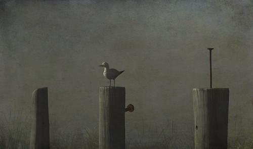 seagull at digue