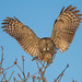 Great Gray Owl Landing on Sumac by Bill McMullen
