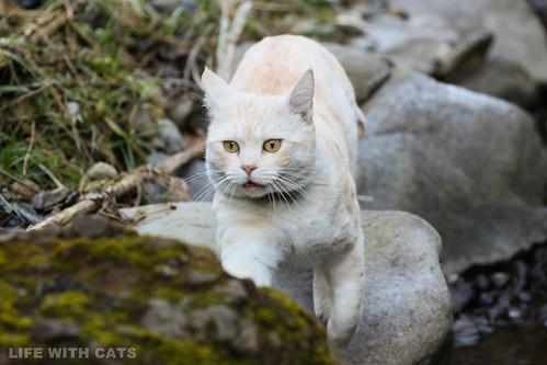 4T4A4558-2 Cream tabby Japanese cat 薄茶トラ猫