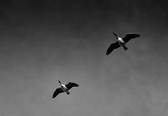 Nils Holgerson unterwegs…\n\n#captureone #franksarnes #rangefindercamera #rangefinder #leicam9 #LeicaM #frankintosh #summicron #silverefexpro2 #franken # Altmühlsee #Murramsee