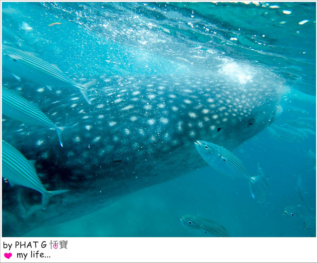 cebu whale shark 21-2