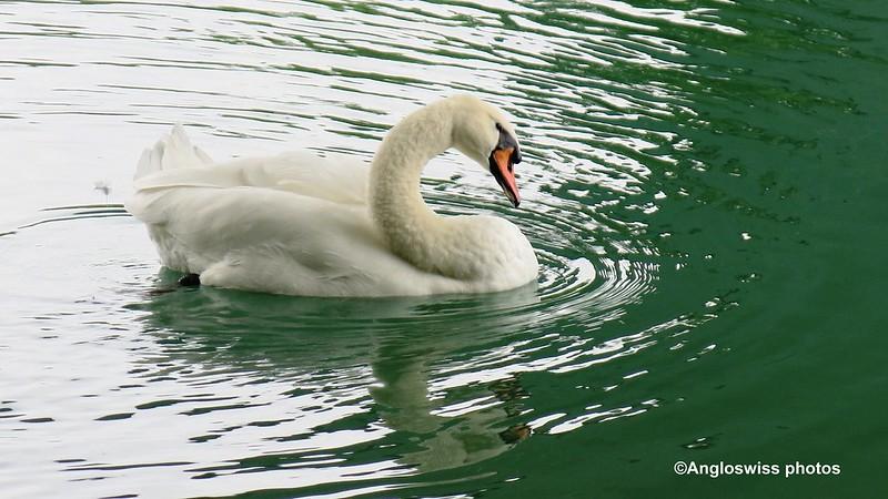 Swwan on the river Aar