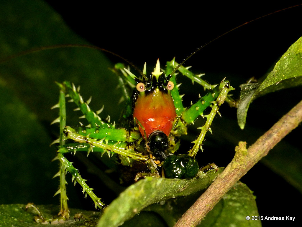 Spiny Katydid, Panacanthus sp.? with Prey