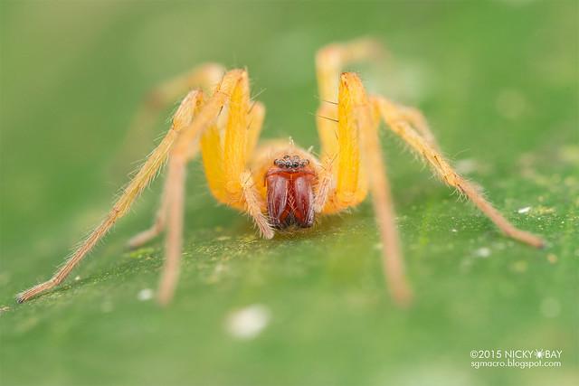 Sac spider (Clubionidae) - DSC_2126