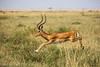 Impala leap