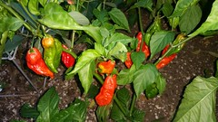 bell pepper(0.0), flower(0.0), cayenne pepper(1.0), chili pepper(1.0), vegetable(1.0), tabasco pepper(1.0), peppers(1.0), plant(1.0), bell peppers and chili peppers(1.0), bird's eye chili(1.0), produce(1.0), fruit(1.0), food(1.0), habanero chili(1.0),