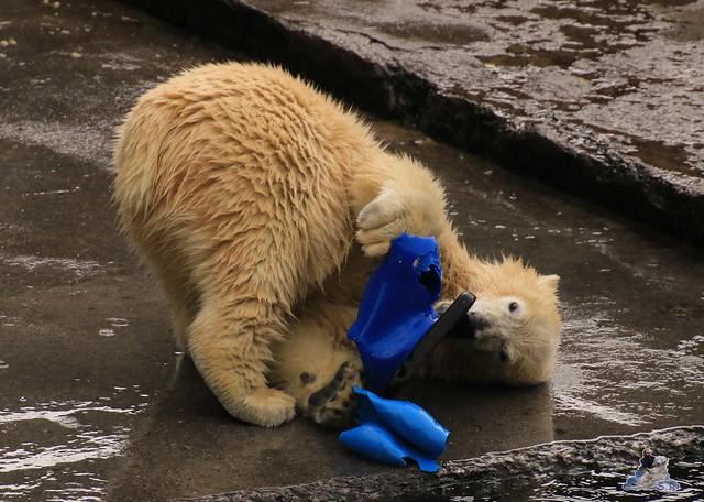 Eisbär Fiete im Zoo Rostock 05.09.2015  078