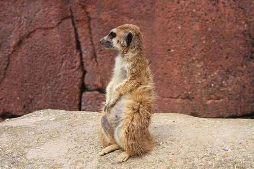 meerkat looking around