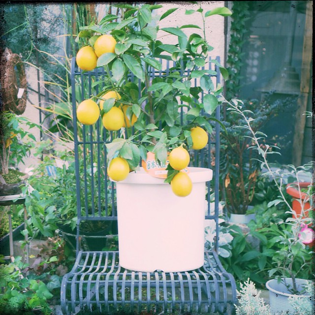 Citrus in plant pot