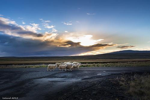 sunset iceland sheep