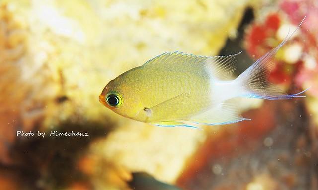 長い尾鰭が美しい。マルスズメダイ幼魚