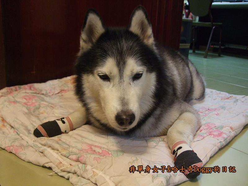 Doggy穿兒童襪06