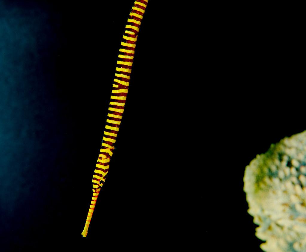Yellow Banded Pipefish (Doryrhamphus pessuliferus)_5