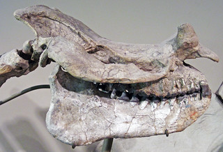 Megacerops dispar (fossil titanothere) (Lower Oligocene; South Dakota, USA) 7
