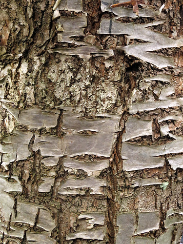 Tree bark of an ancient cherry