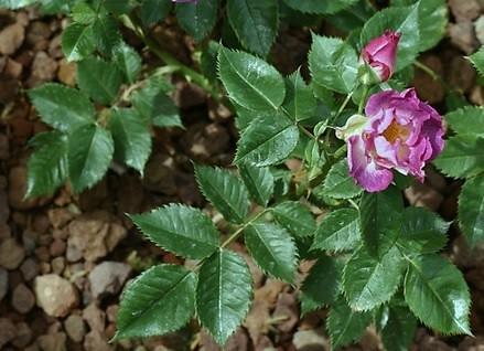 Bụi hoa hồng Blue For You có tán lá xanh bóng.