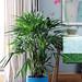 Die exklusiven Palmen als Pflanzen des Monats 2017