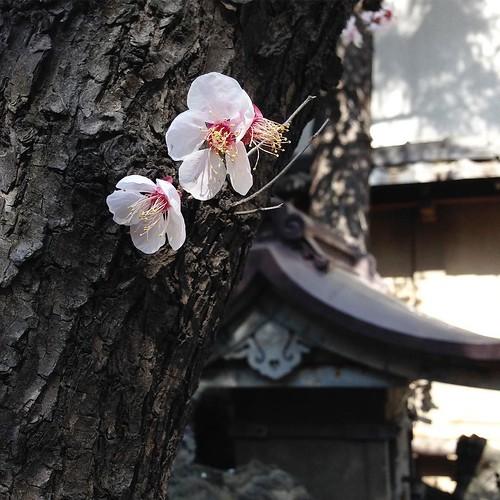小さな木の、サクラの花びらがヒラヒラと舞っていた。 #天祖神社 #大塚