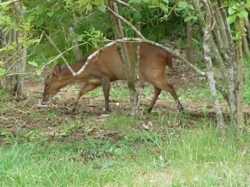 ブルーベリー園に現れた鹿
