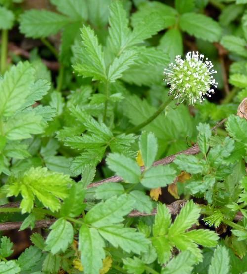 Acaena anserinifolia 20624316839_e2b97510a1_o