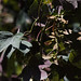 Small photo of Acer pseudoplatanus Atropurpureum