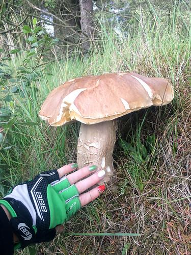 вот такие вот белые грибы в Ирландии