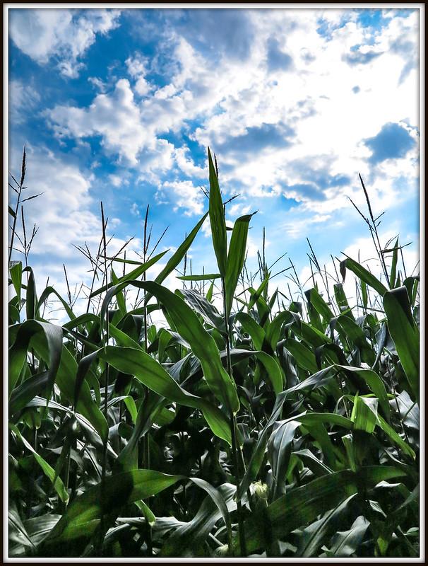 Corn (30-08-2015).