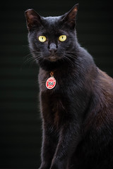 nose, animal, small to medium-sized cats, pet, european shorthair, black cat, bombay, cat, korat, burmese, carnivoran, whiskers, black, nebelung, domestic short-haired cat,