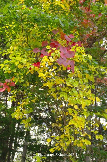 山葡萄の赤と黄葉
