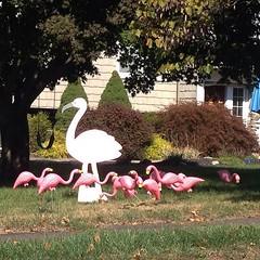 One of our neighbors got #flocked!  #Pta #flamingo #fun
