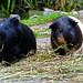 Meerschweine by ingrid eulenfan