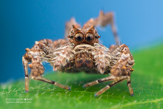 Jumping spider (Portia sp.) - DSC_8532