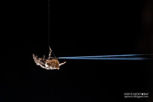Orb weaver spider (Eriovixia laglaizei) - DSC_0594