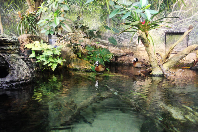 Shedd Aquarium- Ducks at the river